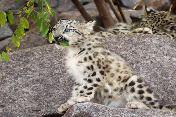 Leopardo de las nieves comiendo hojas verdes