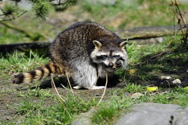 Un mapache comiendo