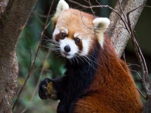 Panda rojo con comida en las manos