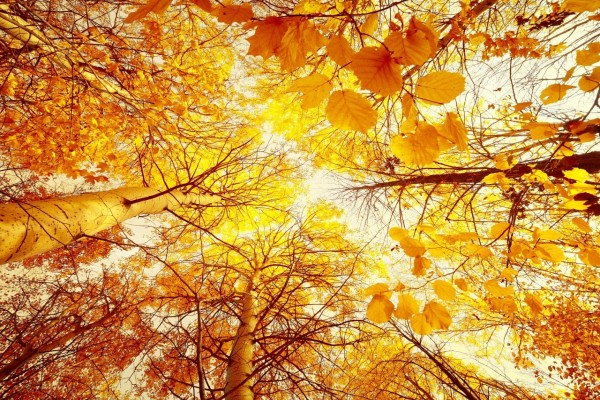 Árboles con hojas amarillas