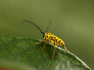 Postal: Escarabajo amarillo y negro