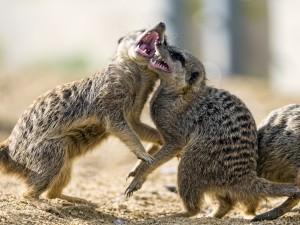 Dos suricatas luchando