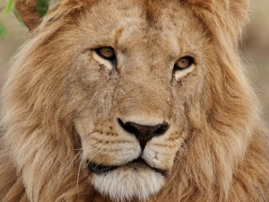 Postal: La cara de un gran león