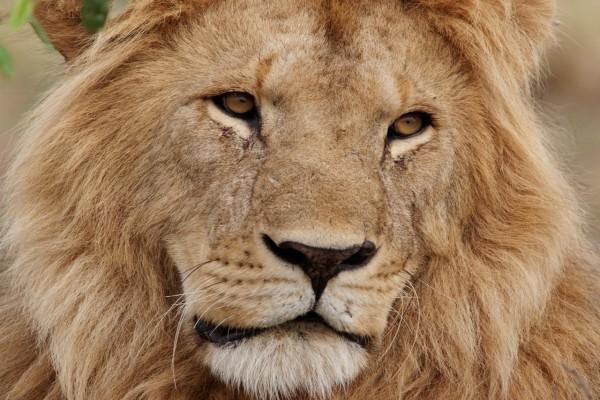 La cara de un gran león