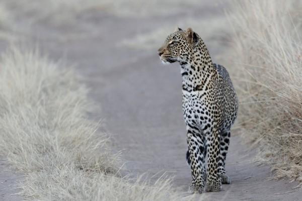 Leopardo parado en un camino