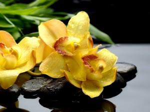 Bellas orquídeas amarillas