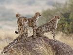 Familia de guepardos reunida en una roca