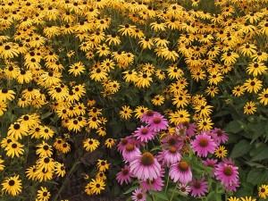 Abundantes flores amarillas y algunas de color rosa