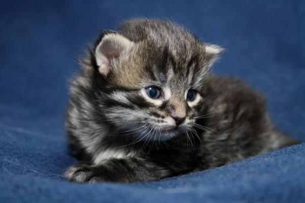 Un pequeño gato en la manta azul