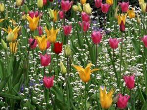 Postal: Bellos tulipanes de colores