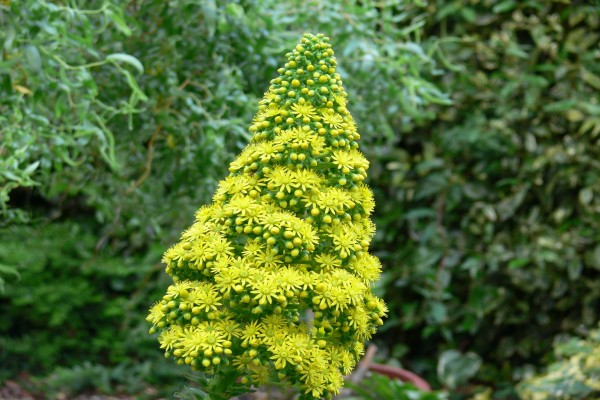 Flores de la planta: Aeonium undulatum