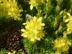 Planta de la familia saxifragaceae con flores amarillas