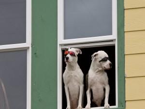 Postal: Dos perros con gafas en la ventana