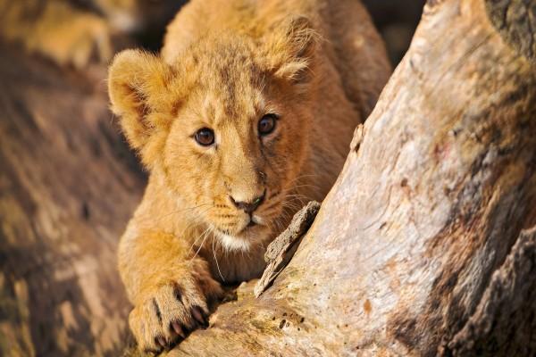 Un pequeño león