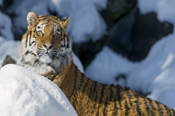 Tigre siberiano en la nieve