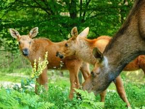 Postal: Alce hembra y crías comiendo hierba fresca