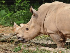 Postal: Perfil de un rinoceronte