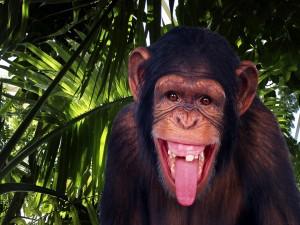Postal: Un divertido chimpancé sacando la lengua