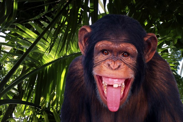 Un divertido chimpancé sacando la lengua
