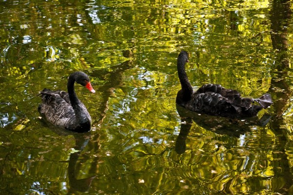 Dos cisnes negros en el agua