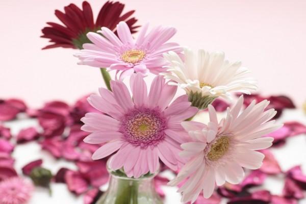 Gerberas rosas y blancas en un florero
