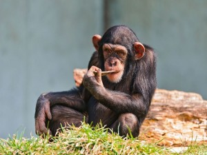 Postal: Un chimpancé sentado