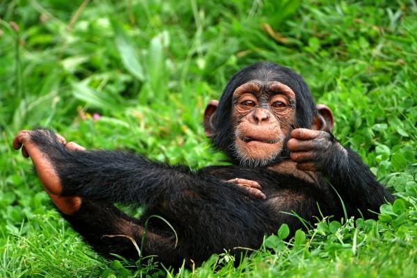 Un chimpancé tumbado en la hierba