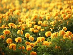 Varias flores amarillas en el campo