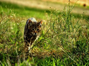 Postal: Un gato caminando por la hierba