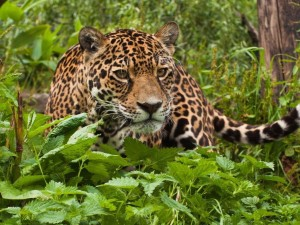Postal: Un jaguar entre las plantas