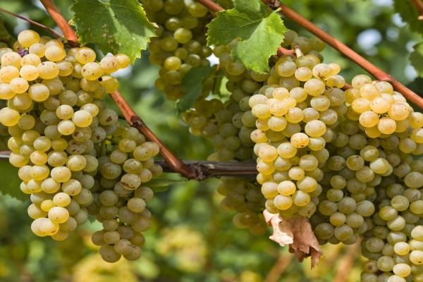 Racimos de uvas blancas en la vid