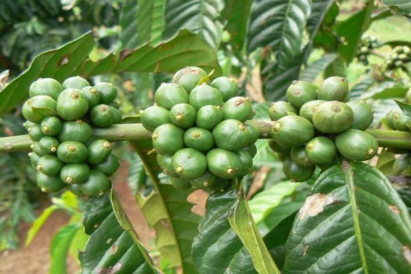 Cafeto con frutos verdes