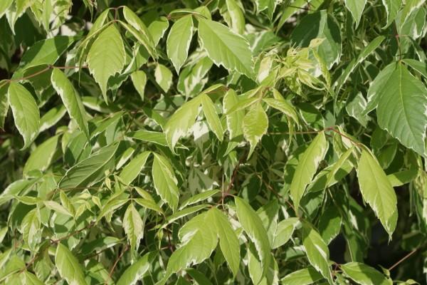 Arbusto con bonitas hojas verdes