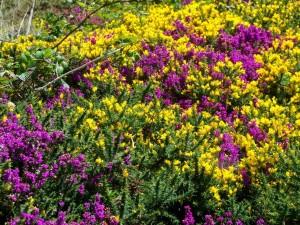 Postal: Brezos con flores amarillas y moradas