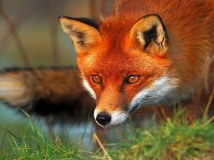Postal: La mirada de un zorro