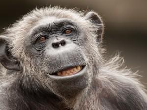 Postal: La cara de un chimpancé