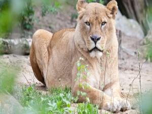 Una leona mirando con atención