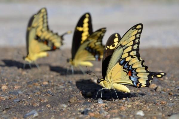 Mariposas posadas en el suelo