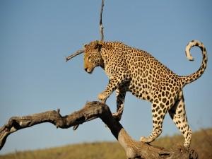Leopardo caminando por el tronco