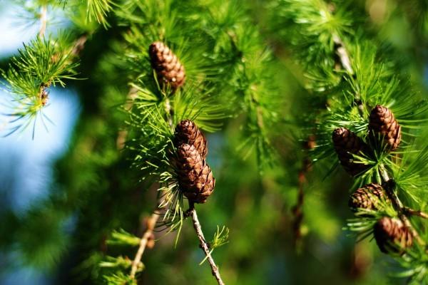 Piñas creciendo en las ramas del pino