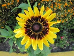 Postal: Una gran flor de color amarillo y centro oscuro