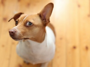 Un perro levantando la oreja