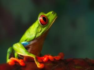 El perfil de una bonita rana