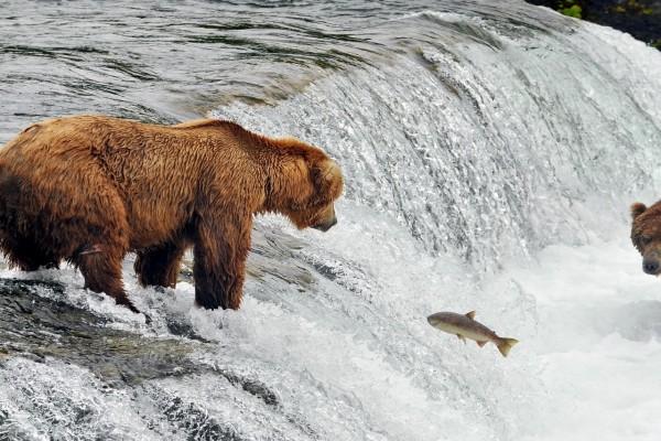 Un pez y dos osos en la cascada