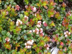 Postal: Arbusto de hoja pequeña con algunas flores