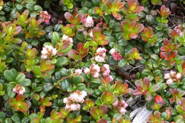 Arbusto de hoja pequeña con algunas flores