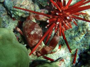 Cangrejo utilizando sus pinzas bajo el mar