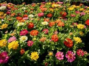 Zinnias de varios colores plantadas en el jardín
