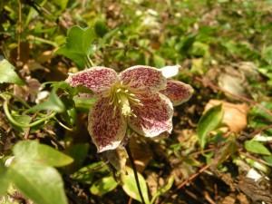Flor en la planta, Clematis cirrhosa