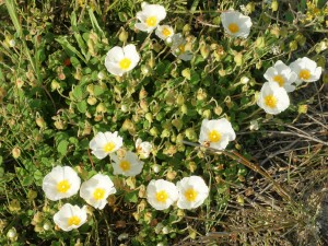 Postal: Jaguarzo morisco en flor